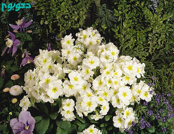 گیاهان بهاری: گل یکساله پامچال زینتی