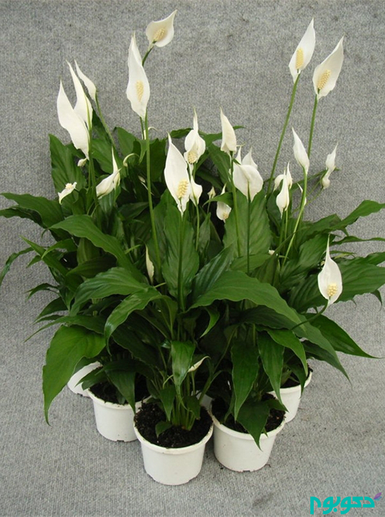 گیاهان آپارتمانی، اسپاتی فیلوم