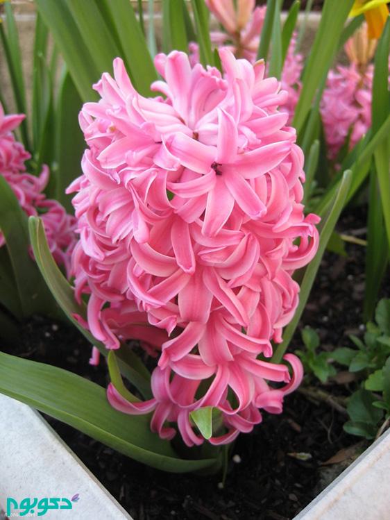 گیاهان بهاری: سنبل