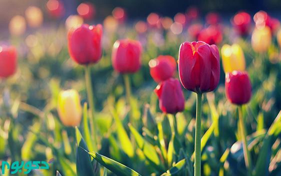 گیاهان بهاری: لاله