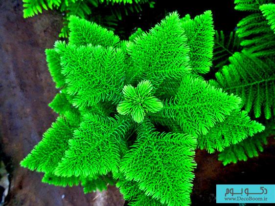 Araucaria-exclesa-pino-estrella-Jardin-Los-Agapantos-La-Serena-Coquimbo-venta-de-plantas
