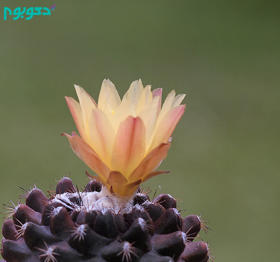 Copiapoa_tenuissima_(7447244016)