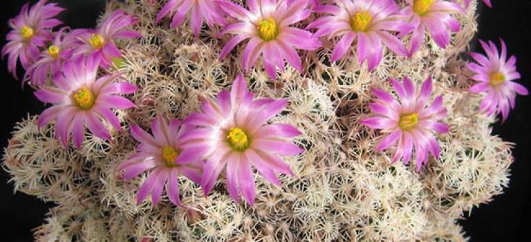 گیاهان آپارتمانی، کاکتوس اسکوباریا