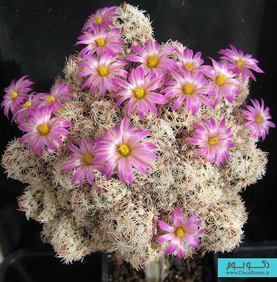 Escobaria-minima-1