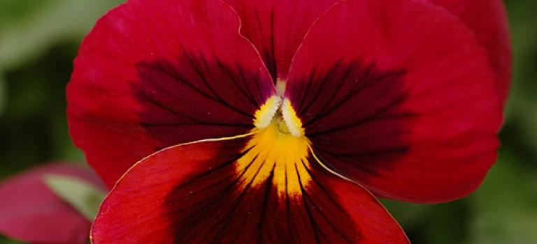 گیاهان بهاری: بنفشه