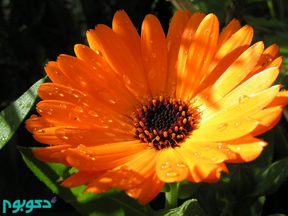 گیاهان بهاری: کالندولا، گل همیشه بهار