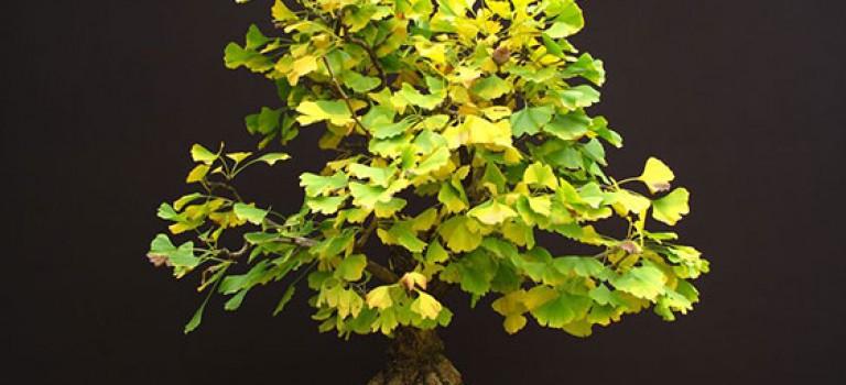 گیاهان آپارتمانی (بن سای)