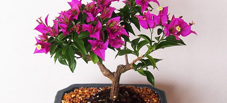 گیاهان آپارتمانی، بن سای گل کاغذی