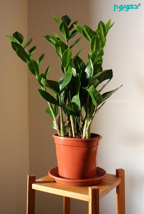 گیاهان آپارتمانی، زامیفولیا
