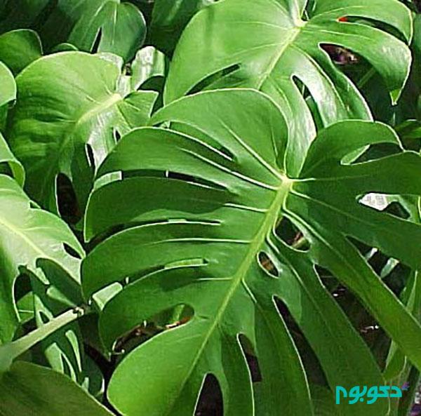 گیاهان آپارتمانی - برگ انجیری