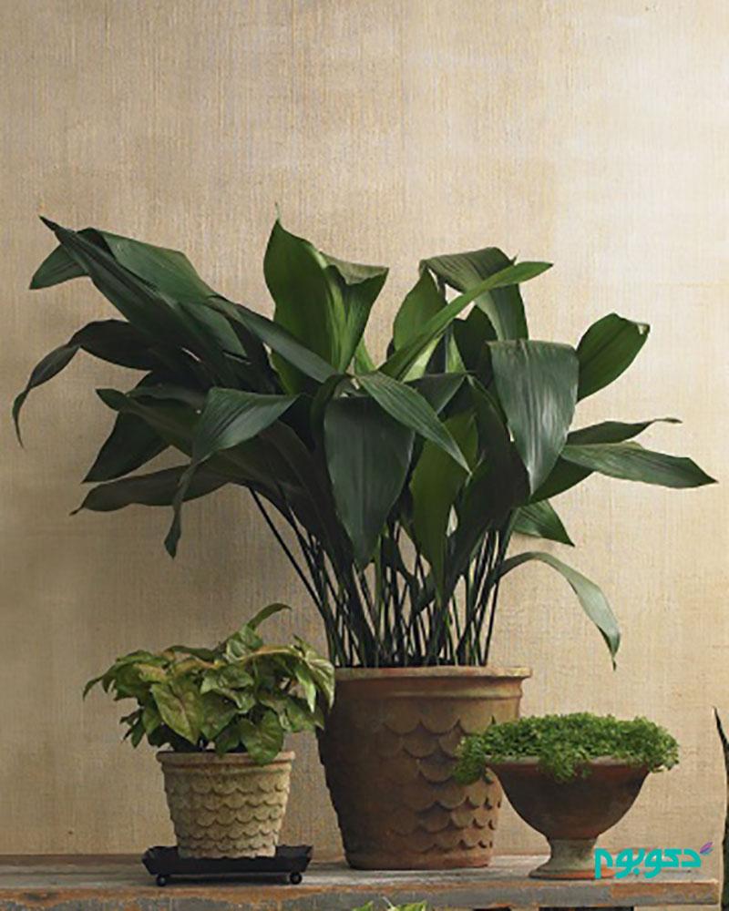 معرفی گیاهان آپارتمانی-برگ عبایی