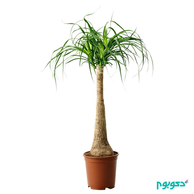 معرفی گیاهان آپارتمانی- لیندا