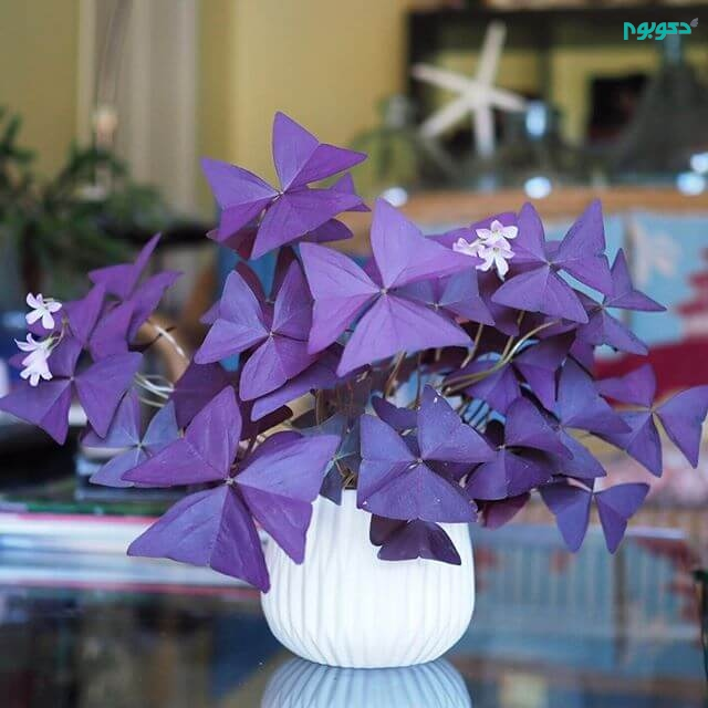 گل اگزالیس یا شبدر تزئینی